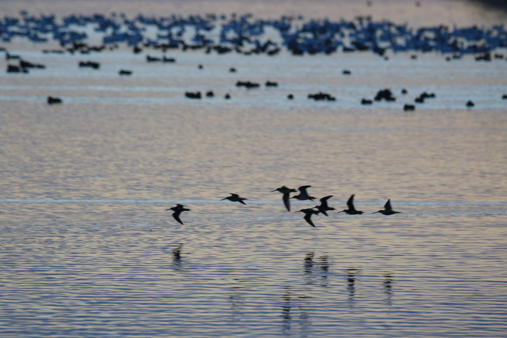 Skagit Snow Geese 150.JPG
