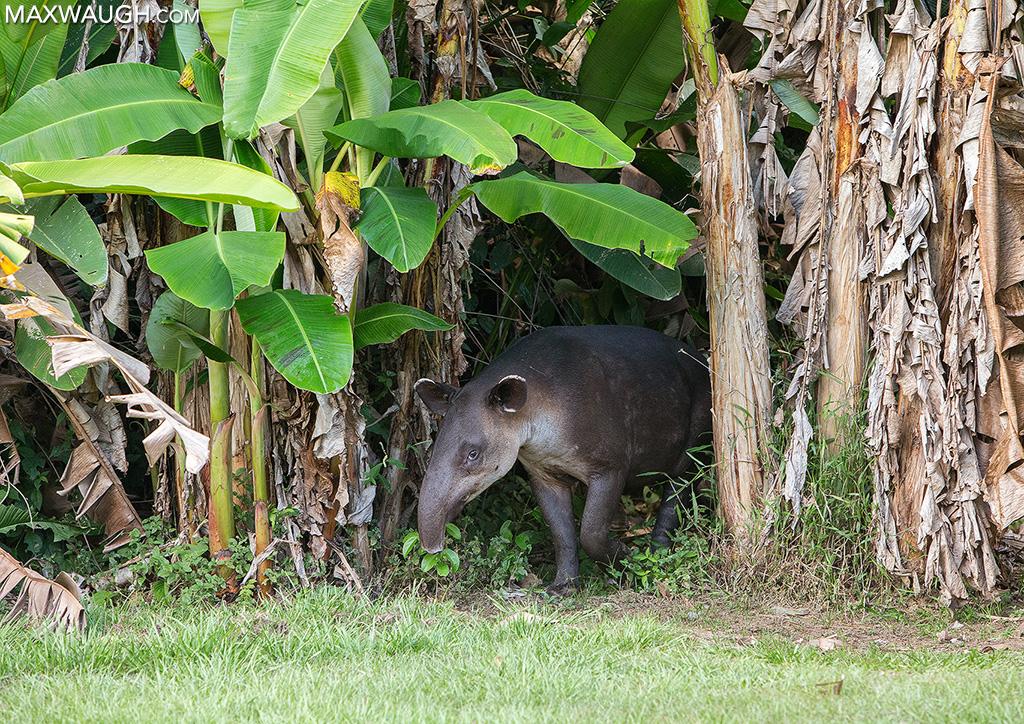 tapirbairds0213cr2.jpg