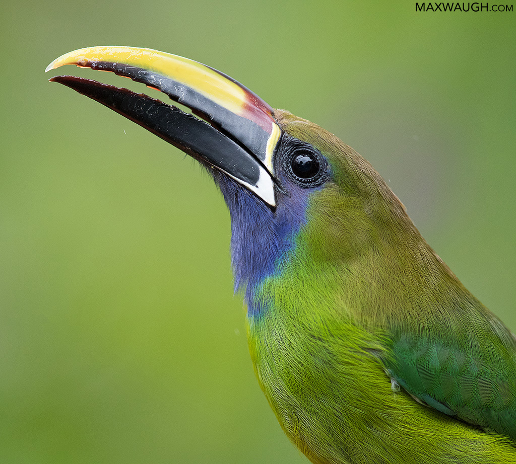 toucanetbluethroated0319cr9.jpg