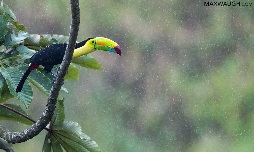 toucankeelbilled0319cr3.jpg