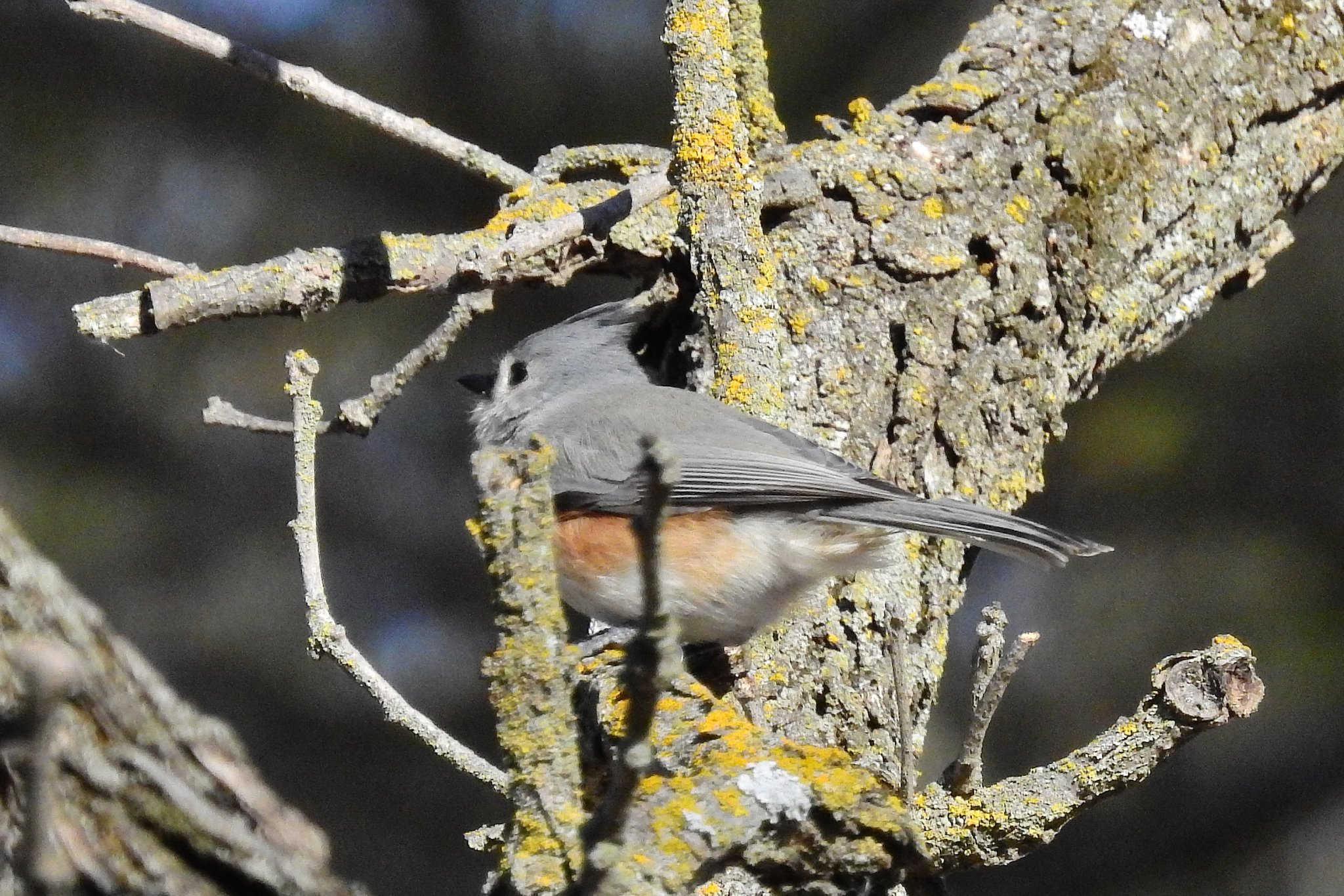 Tufted Titmouse_021520.JPG