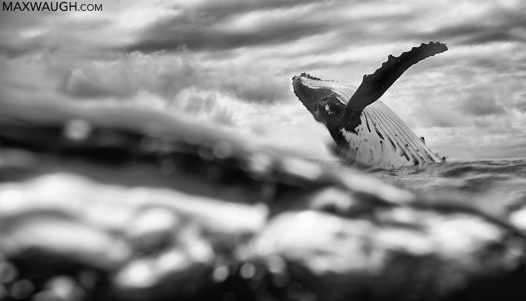 whalehumpback0819tonga164.jpg