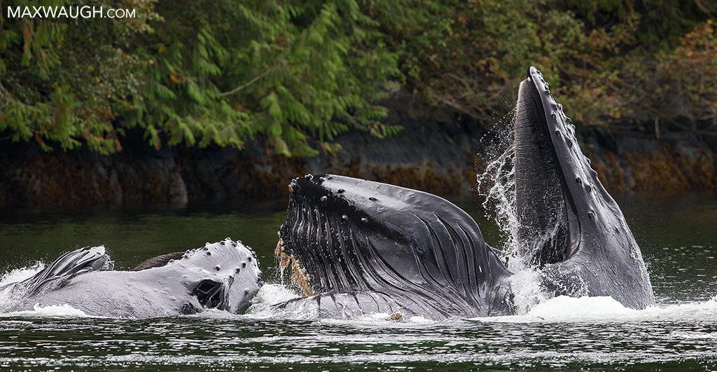 whalehumpback0916greatbear16.jpg