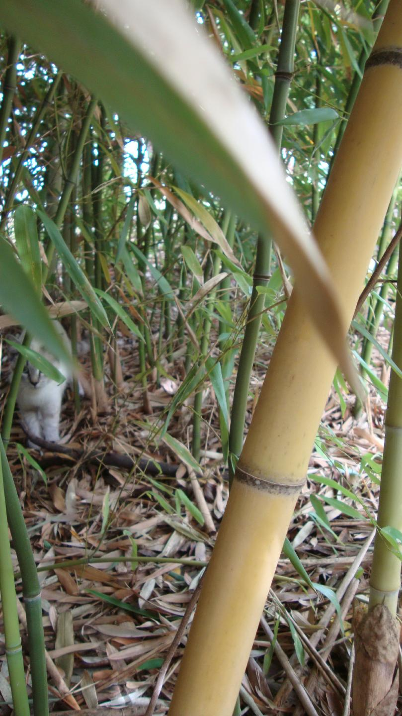Cat in the bamboo