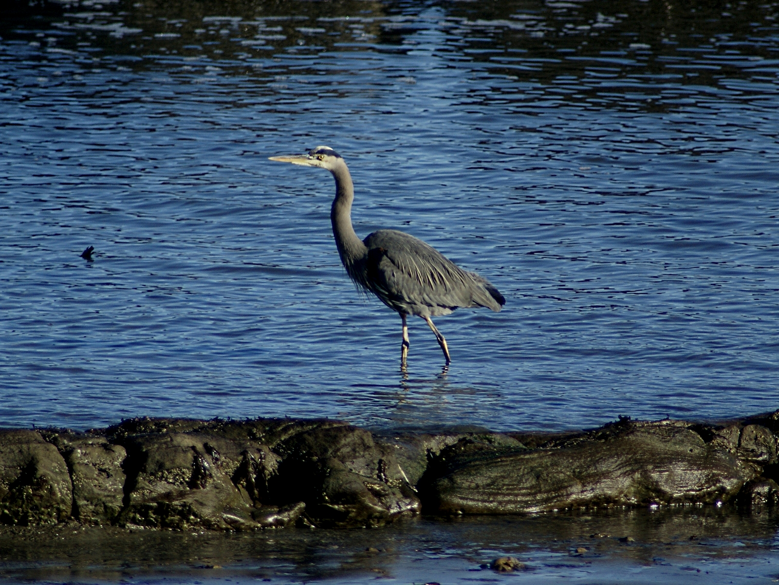Heron off the deck