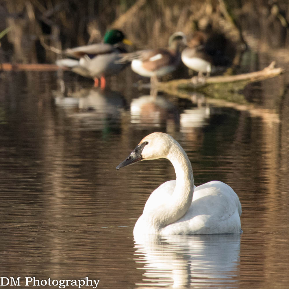 Trumpeter Swan and friends